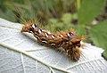 Стрельчатка щавелевая, гусеница - Acronicta rumicis, larva - Knot Grass caterpillar - Ampfer-Rindeneule Raupe (19378914585).jpg