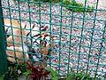 Тигр в Фельдман-екопарку.JPG