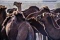 چرای گله شتر - حوالی کاروانسرای دیر گچین قم - پارک ملی کویر 17.jpg