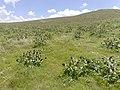 گلهای آغلاغان میاندواب-ارتفاعات - panoramio.jpg