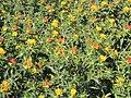 करडई या गळीत पिकाची फुल Flowers of oil producing crop Safflower (Carthamus tinctorius).jpg