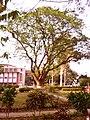 বাগানের ভিতর দারিয়ে একটি বৃক্ষ, রাজশাহী বিশ্ববিদ্যালয়.jpg