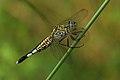 பெண் மகுடி வால் தட்டான் - Trumpet tail female - Acisoma panorpoides.jpg
