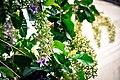 พวงคราม Petrea volubilis Photographed by Trisorn Triboon 01.jpg