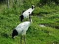 丹頂鶴 Red-crowned Crane - panoramio.jpg