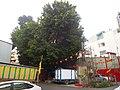 元帥宮裡的高大榕樹 - panoramio.jpg