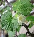四川蔓茶藨子 Ribes ambiguum -日本大阪鮮花競放館 Osaka Sakuya Konohana Kan, Japan- (27406341947).jpg