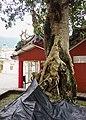 大里老榕樹 Dali old banyan tree - panoramio.jpg