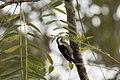 小啄木鳥 (32316770345).jpg