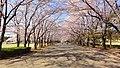 小瀬スポーツ公園の桜並木 - panoramio.jpg