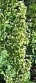 巴天酸模 Rumex patientia -波蘭華沙 Powsin PAN Botanical Garden, Warsaw- (36645981745).jpg
