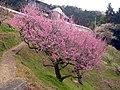 広橋梅林にて Hirohashi-bairin 2011.3.06 - panoramio.jpg