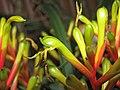 擎天鳳梨屬 Guzmania Gemma -香港動植物公園 Hong Kong Botanical Garden- (9213294741).jpg
