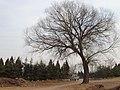 村东的大树 - panoramio.jpg