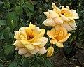 玫瑰 Rosa Diorama -日本廣島和平紀念公園 Hiroshima Peace Memorial Park, Japan- (35713375476).jpg