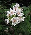 球花溲疏 Deutzia glomeruliflora -哥本哈根大學植物園 Copenhagen University Botanical Garden- (36932494706).jpg