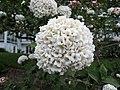 紅蕾雪球莢迷 Viburnum x carlcephalum -挪威 Ulvik, Norway- (35828028442).jpg