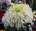 菊花-綠衣珠蓮 Chrysanthemum morifolium 'Beaded Lotus in Green Dress' -中山小欖菊花會 Xiaolan Chrysanthemum Show, China- (12065513956).jpg
