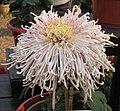 菊花-聖光紅雀 Chrysanthemum morifolium 'Red Bird' -中山小欖菊花會 Xiaolan Chrysanthemum Show, China- (12065510956).jpg