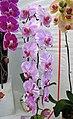 蝴蝶蘭 Phalaenopsis Yu Pin Dream Girl -香港花展 Hong Kong Flower Show- (33564975492).jpg
