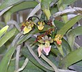 鑽柱蘭 Pelatantheria insectifera -泰國清邁花展 Royal Flora Ratchaphruek, Thailand- (9252458397).jpg