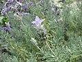 齒葉薰衣草 Lavandula dentata -倫敦植物園 Kew Gardens, London- (9200963166).jpg