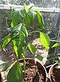 -2020-07-10 Cayenne pepper (Capsicum annuum), Trimingham (3).JPG
