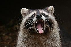 -3340- Yawning raccoon (26247775177).jpg