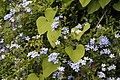 -75 100 Plumbago - Composed by a master gardener's hand (50390237682).jpg