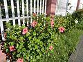 0931jfHibiscus rosa sinensis Linn White Pinkfvf 19.jpg