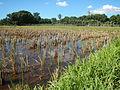 09702jfLandscapes Grasslands Plaridel Road Bonga Menor Bustos Bulacan Villagesfvf 05.JPG