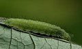 2011 06 01 3273 plum judy caterpillar (5812976416).jpg