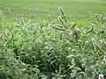 20120921Mentha longifolia1.jpg