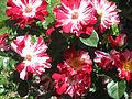 2013 roses Fens Boston.jpg