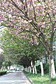 2014-04-06 樱花盛开 - panoramio (14).jpg