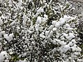 2014-06-17 09 43 57 Snow in June on Mountain Mahogany along Lamoille Canyon Road in Lamoille Canyon, Nevada.jpg