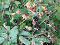 2014-08-28 10 19 51 Blackberries along Lake Road at Spring Lake in Berlin, New York.JPG