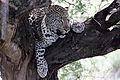 2014-11-23 112 Leopard (Panthera pardus) anagoria.JPG
