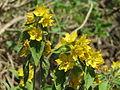 20140622Lysimachia vulgaris2.jpg
