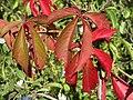 20140923Parthenocissus quinquefolia2.jpg