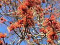2015-04-12 16 31 34 Male Red Maple flowers on Bayberry Road in Ewing, New Jersey.jpg