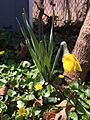 2015-04-13 14 35 39 Daffodil beginning to bloom on Terrace Boulevard in Ewing, New Jersey.jpg