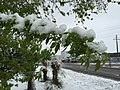 2015-05-07 07 54 58 New green leaves covered by a late spring wet snowfall on a Box Elder on Burner Street in Elko, Nevada.jpg