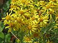 20150719Jacobaea vulgaris2.jpg