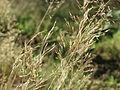 20151001Agrostis capillaris1.jpg