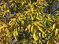 2016-11-15 11 19 14 Sawtooth Oak autumn foliage along Franklin Farm Road near Old Dairy Road in the Franklin Farm section of Oak Hill, Fairfax County, Virginia.jpg