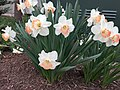 2017-04-03 15 37 57 Daffodils with salmon-colored centers and white petals along Kinross Circle near Scotsmore Way in the Chantilly Highlands section of Oak Hill, Fairfax County, Virginia.jpg