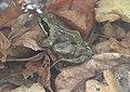 20171104 Frog in Leeuwenhorstbos - Rana temporaria .jpg