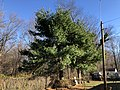 2018-03-04 15 38 00 An Eastern White Pine about five years after being topped along Terrace Boulevard in Ewing Township, Mercer County, New Jersey.jpg