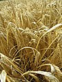 2018-08-12 Ripe Wheat, Paston way footpath, Gimingham (2).JPG